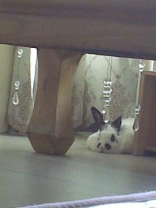 Photo of my Chinese panda rabbit 2 2