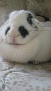 Chinese Panda rabbit Pic